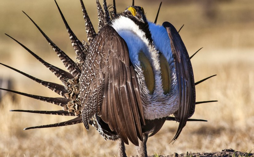 Trump administration orders review of landmark sage grouse plan
