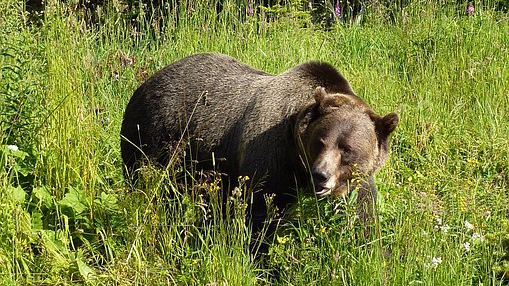 Grizzly Delisting Process Emblematic of Need for ESA Reform